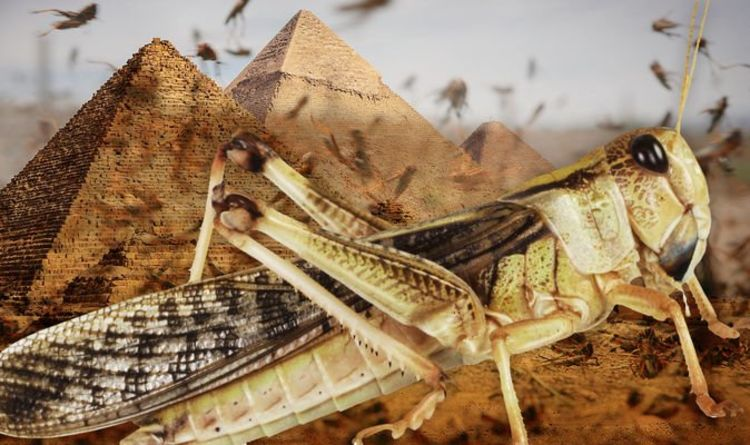 Locust Plague Approaches Egypt, Sparking Apocalyptic Fears