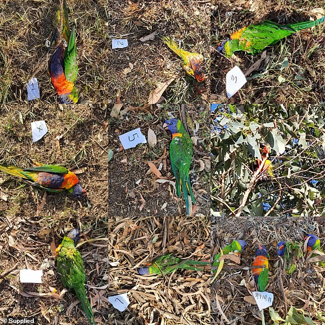 Hundreds of Lorikeets Drop Out of the Sky in Australia